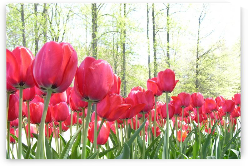 Red Tulip Garden Photograph by Katherine Lindsey Photography
