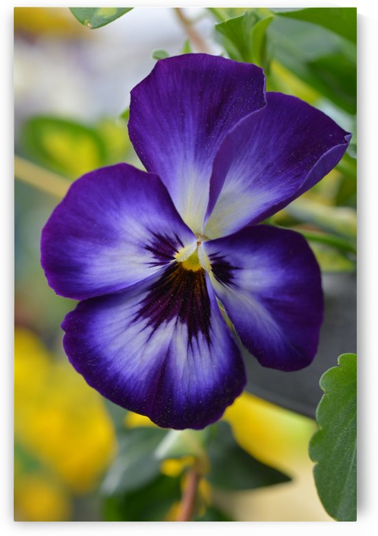 Blue Pansy Photograph by Katherine Lindsey Photography