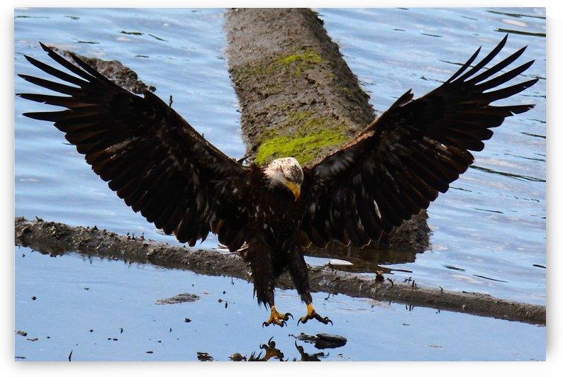 Juvenile Eagle by Rachael Griffin