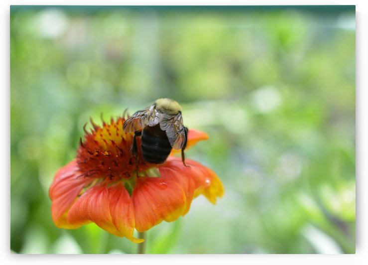 Bee On Orange Flower Photograph by Katherine Lindsey Photography