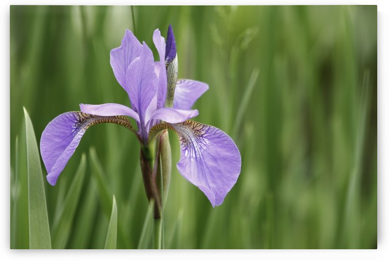 Iris germanica by William Gillard