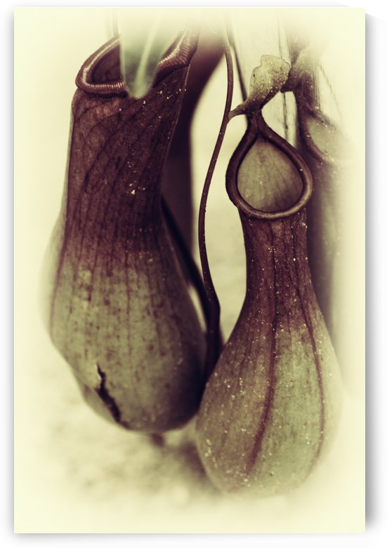 Nepenthes by William Gillard