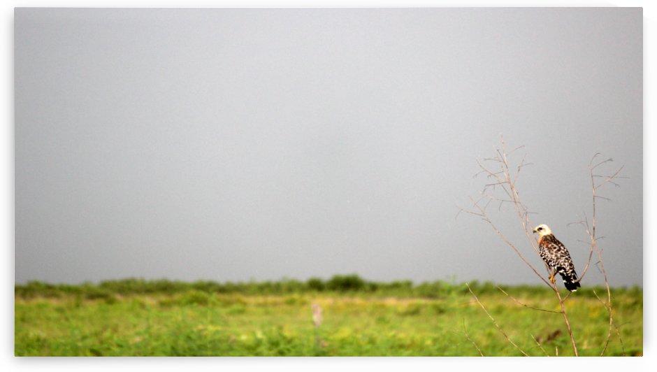 Red Shoulder Hawk Close by Peter Kaple