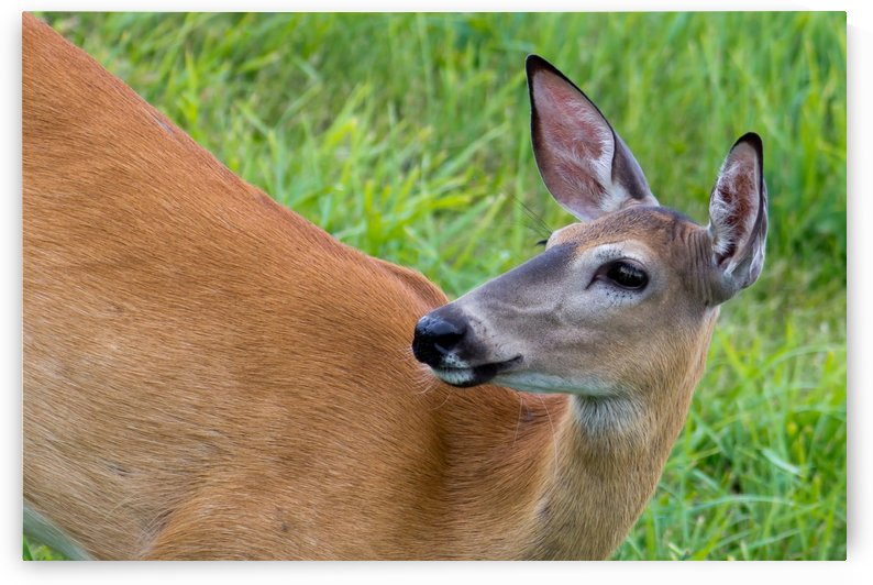 Summer Doe by Michel Soucy