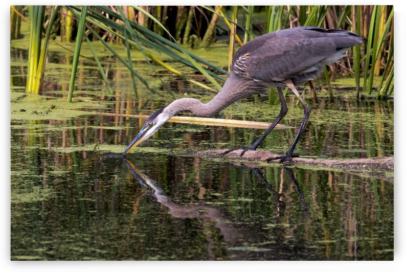 Great Blue Heron taking a Sip by Michel Soucy