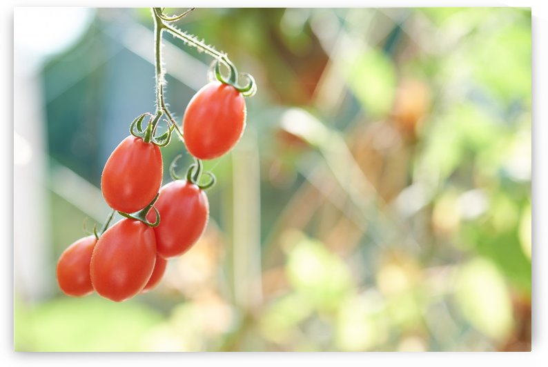 Ripe tomato hanging by Krit of Studio OMG