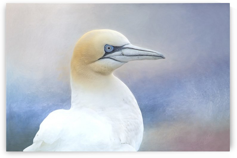Northern Gannet by Michel Soucy