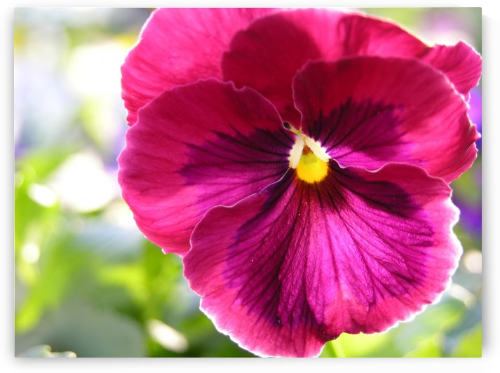 Pink Pansy Photograph by Katherine Lindsey Photography