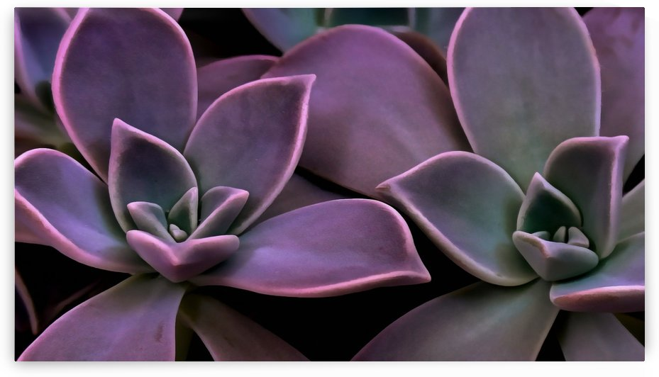 Succulent Magenta by Richard D. Jungst