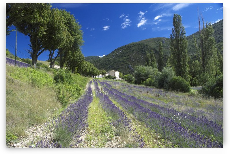 Lavender field in Provence by Douglas Kay