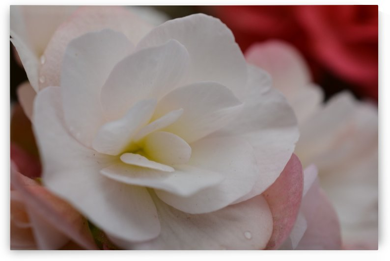 Beautiful Soft Pink Flower Photograph by Katherine Lindsey Photography