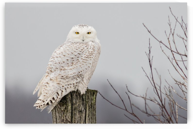 Snowy Owl on the Fence by Michel Soucy