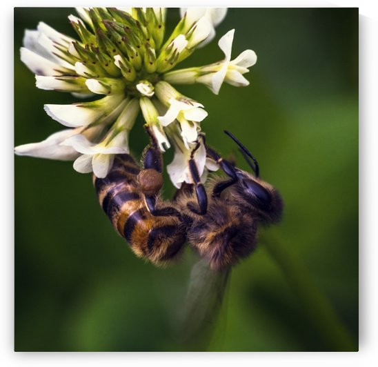 A bee on a clover flower by Dmiry Laudin