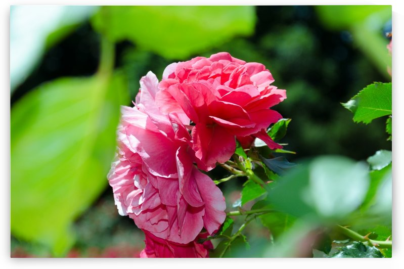 Rose Name by Ann Romanenko