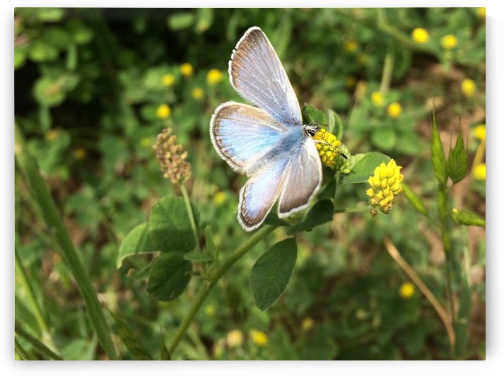 Blue Butterfly on Clover by Bear & Badger
