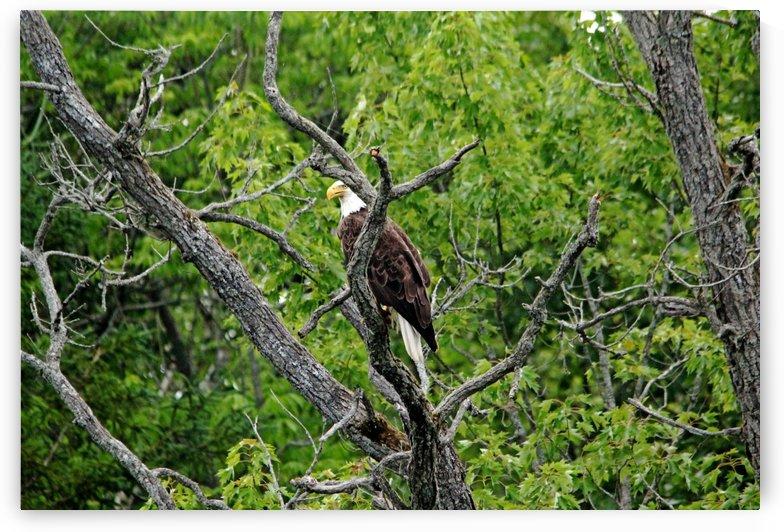 Regal Bald Eagle by Deb Oppermann