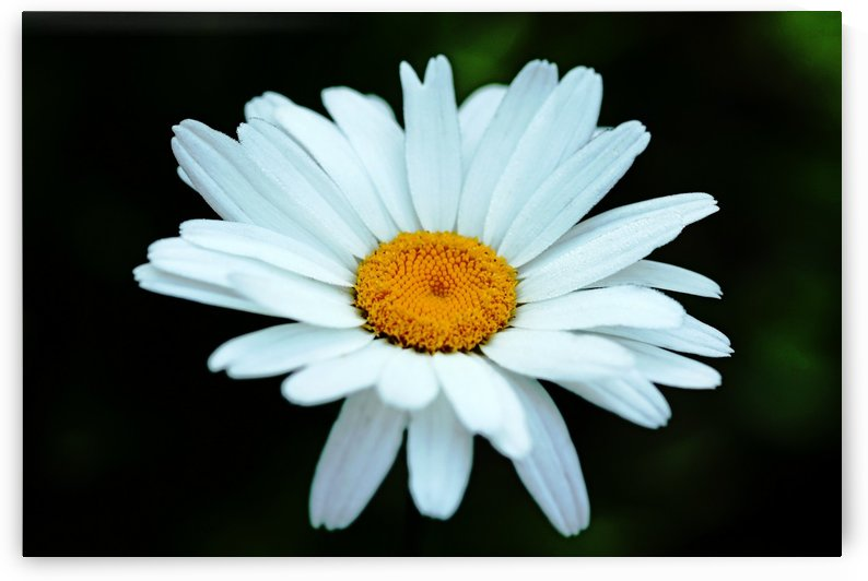 Good Morning Daisy by Deb Oppermann