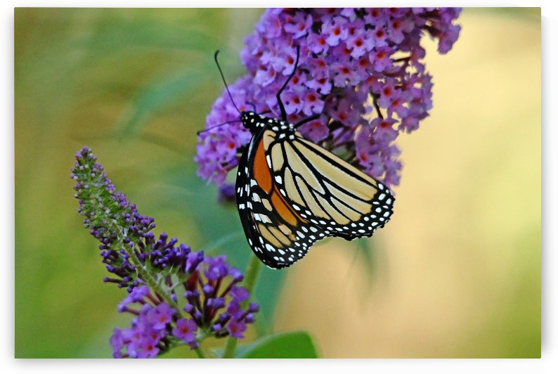 Sipping Nectar by Deb Oppermann