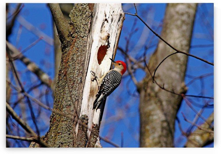 Red Bellied Woodpecker by Deb Oppermann