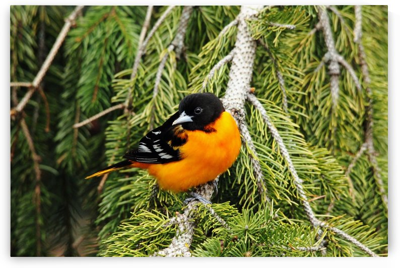 Perched Baltimore Oriole by Deb Oppermann