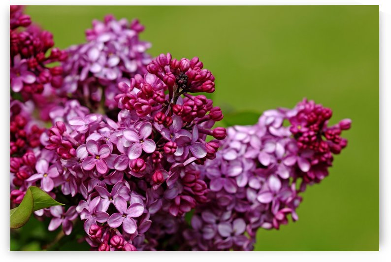 Lilac Bouquet by Deb Oppermann