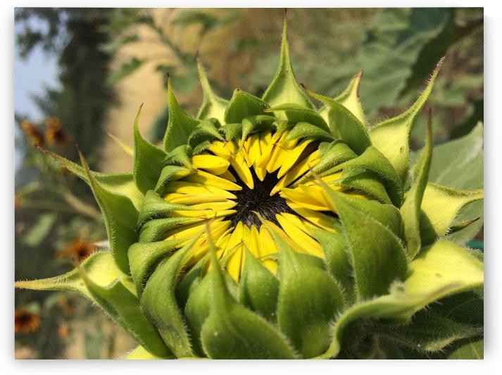 Budding Sunflower by Bear & Badger