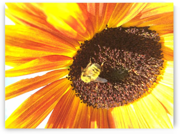 Bumblebee on Sunflower by Bear & Badger