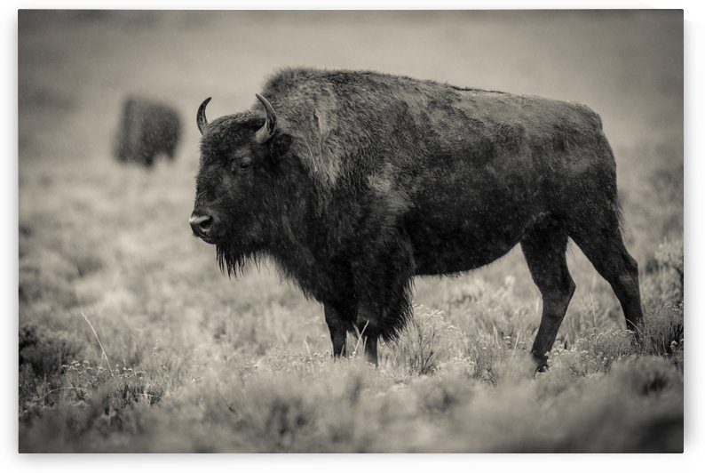 Bison of the Far West by JADUPONT PHOTO