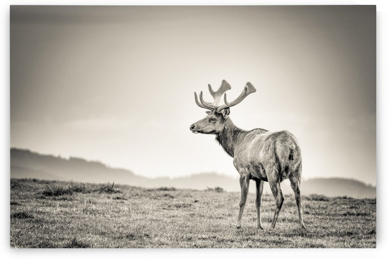 Tule Elk by JADUPONT PHOTO