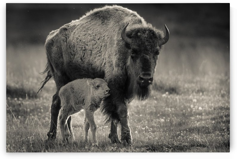 Bison love by JADUPONT PHOTO
