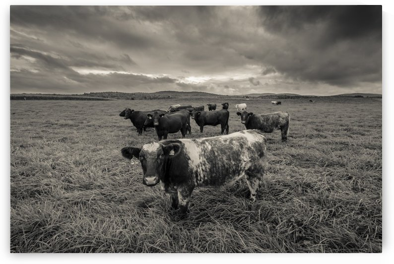 Cowscape by JADUPONT PHOTO