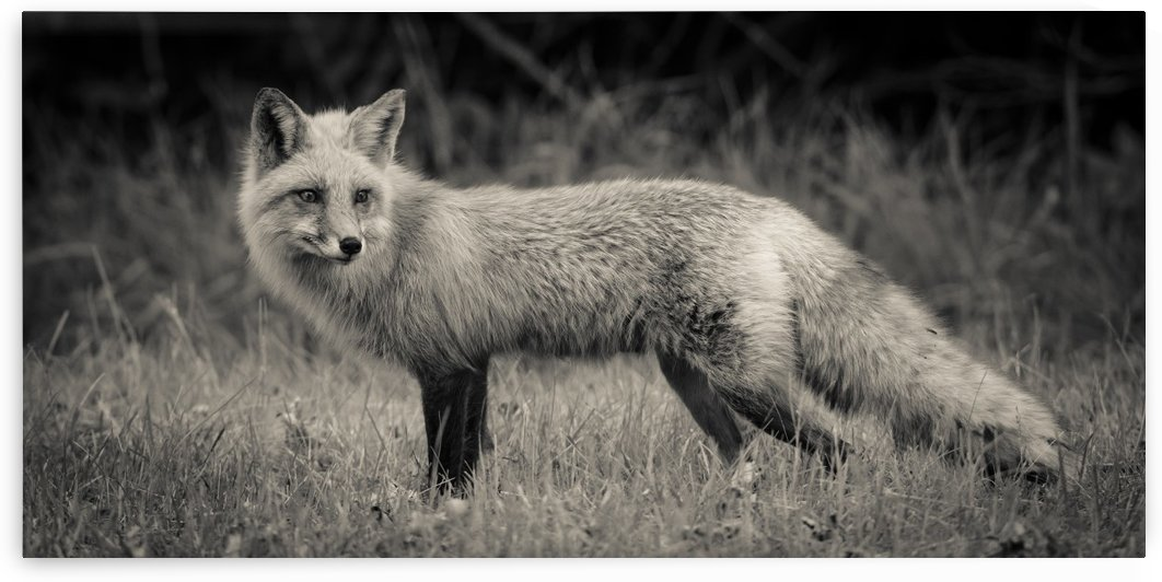Red Fox by JADUPONT PHOTO