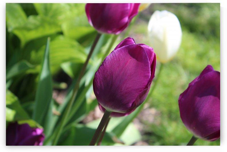 Tulips Purple by Lalitha Murali