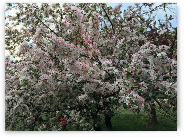 Cherry Blossoms by Lalitha Murali
