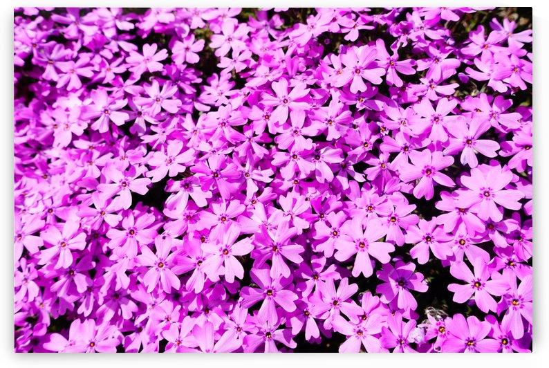 Pink Petals by Ben Conway