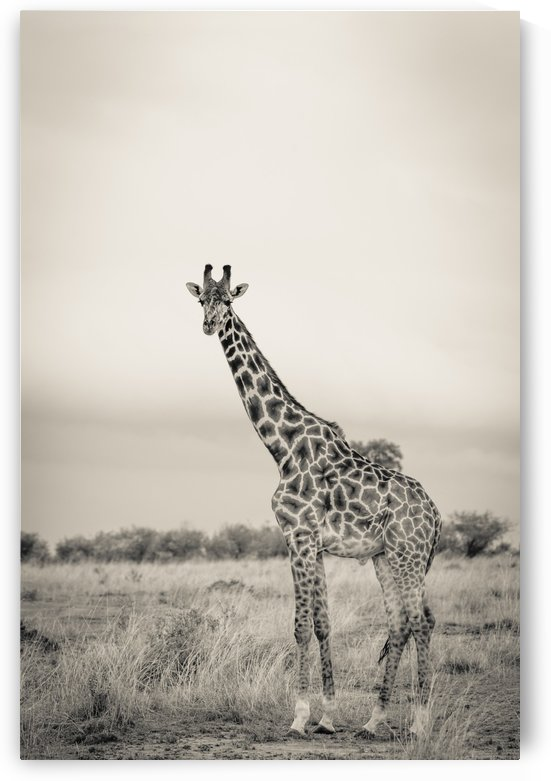 Majestic Giraffe by www.jadupontphoto.com by JADUPONT PHOTO