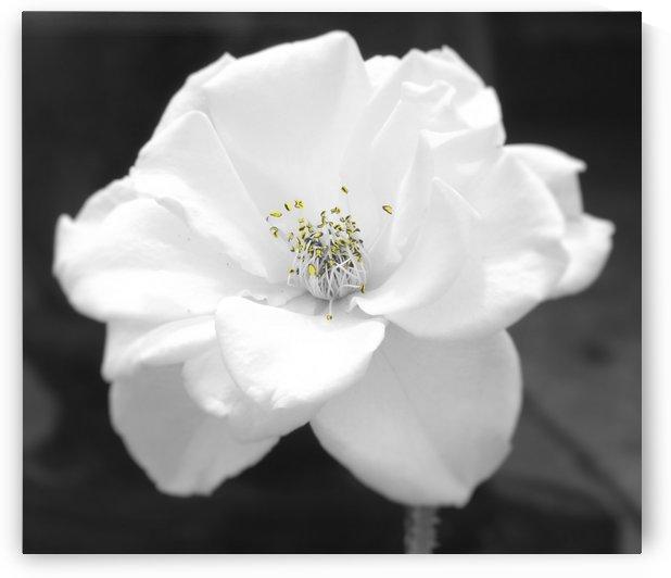 Antique Rose by Linda Peglau