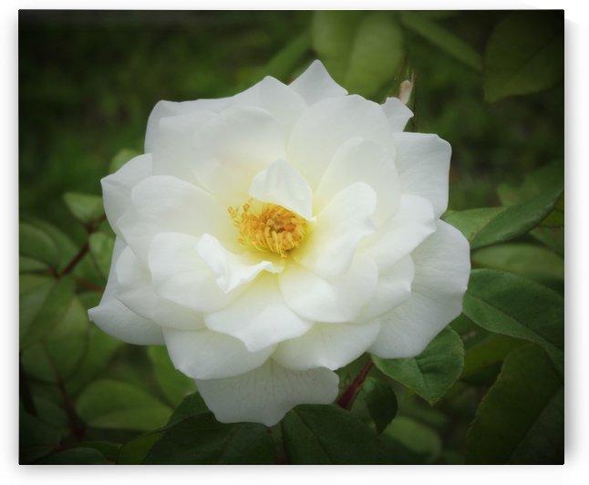 Soft Rugose Rose by Linda Peglau