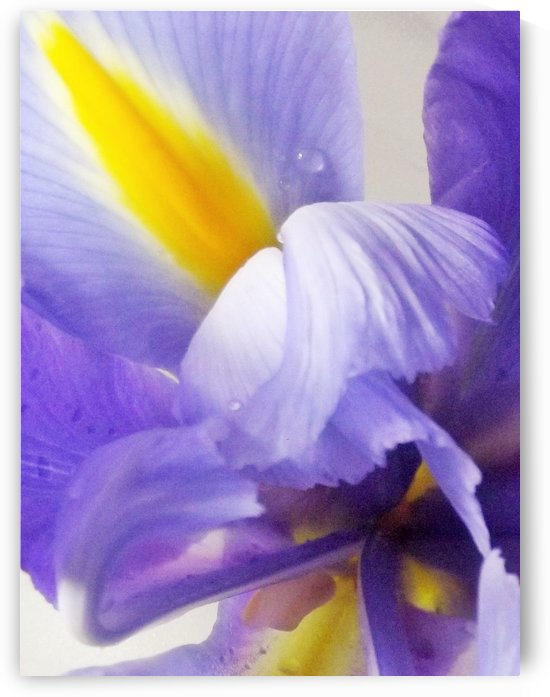 Iris Soft Iris Abstract by Linda Peglau