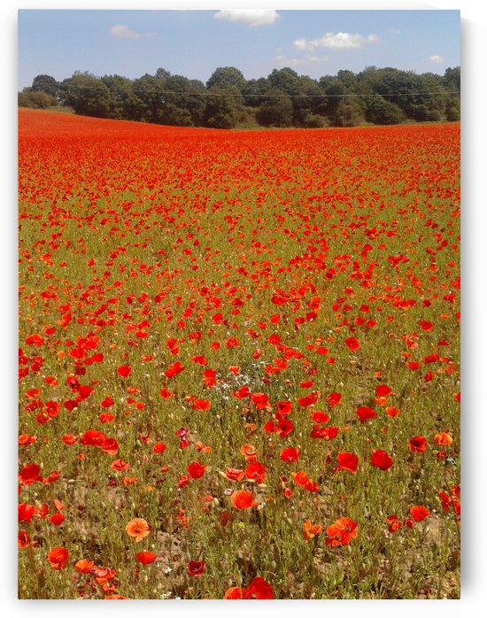 Fields of Red by Sara Jennings