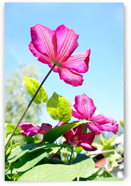 Pink flower and green leaves by Nyvelius