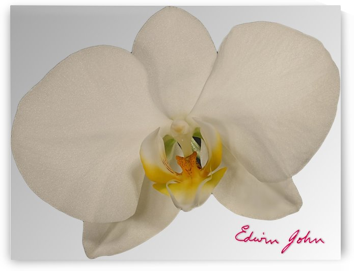 Moth Orchid Flower Single Flower White by Edwin John