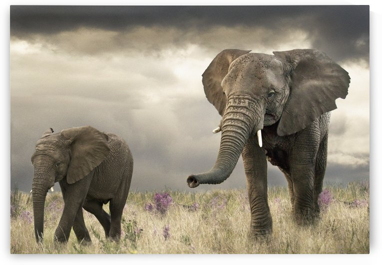 Elephant song by Photure