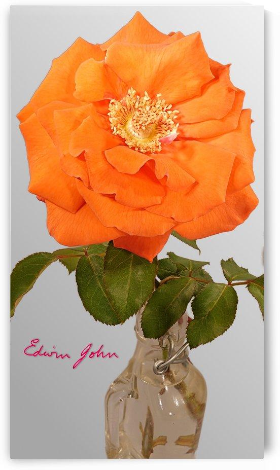 Single Orange Rose  by Edwin John