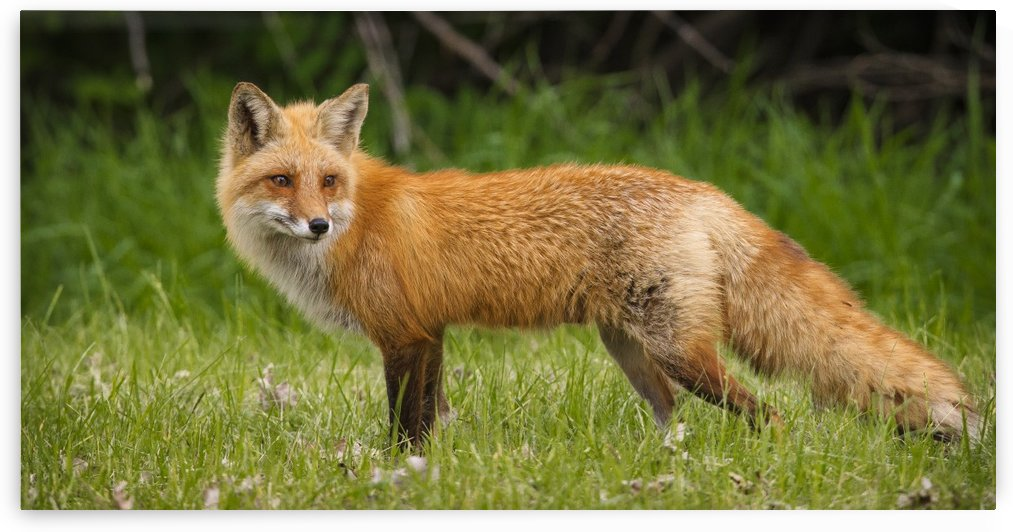 Red Fox Beauty by JADUPONT PHOTO