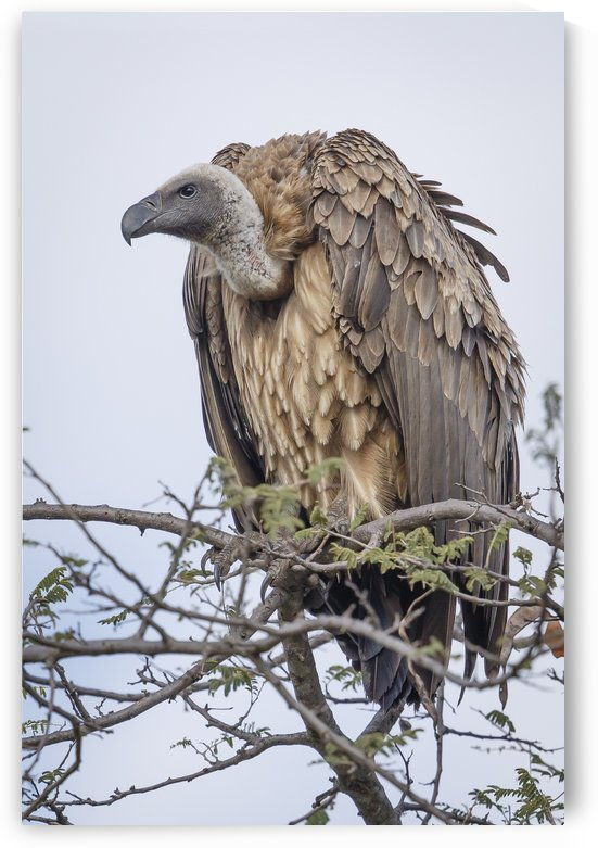 Vulture by JADUPONT PHOTO