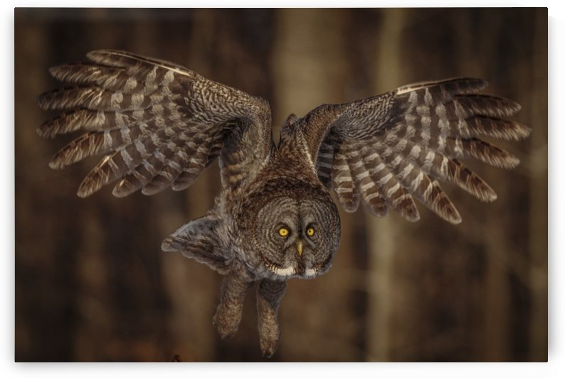Great Grey Owl by JADUPONT PHOTO