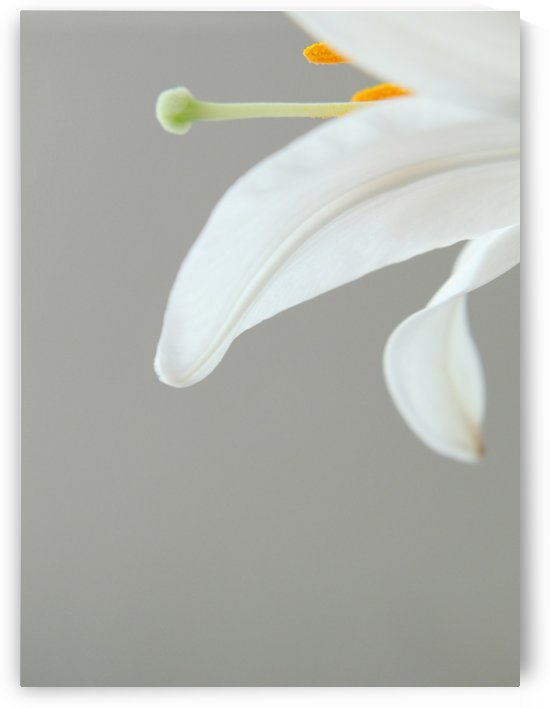Madonna Lily detail by Andrea Pratnemer