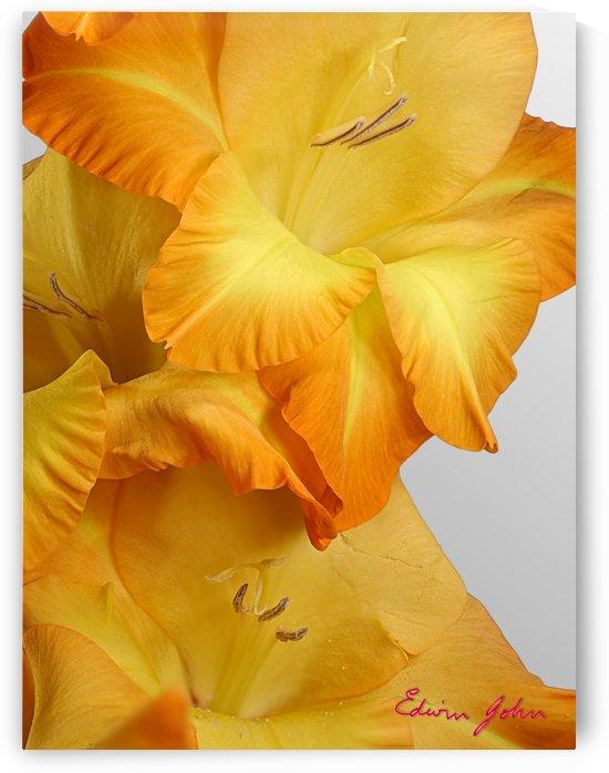 Orange Gladiola Close Up by Edwin John