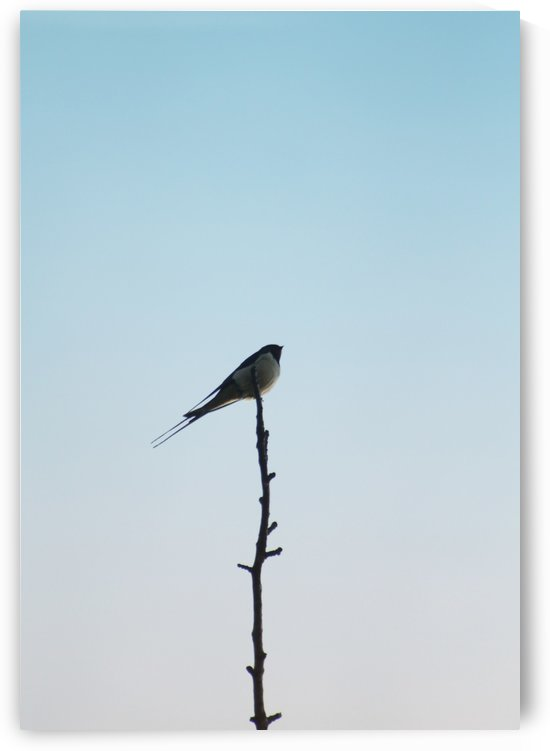 European Swallow by Andrea Pratnemer